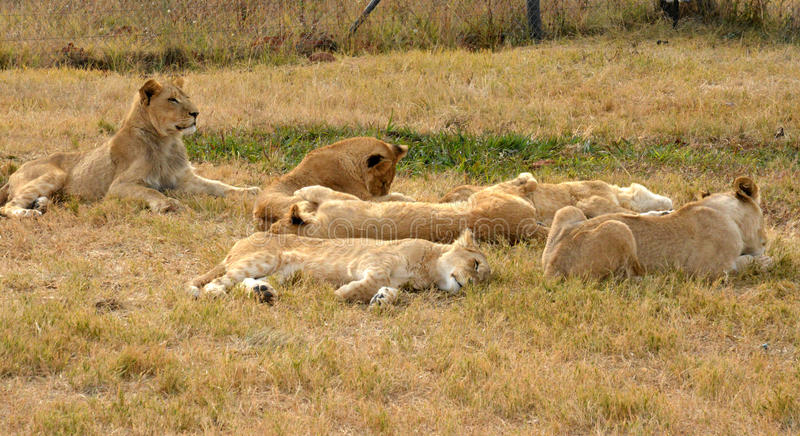 Lions se reposant vers la fin du soleil d'après-midi image stock