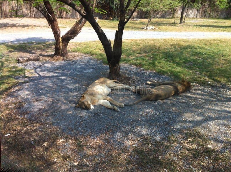 Lions sleeping stock photography