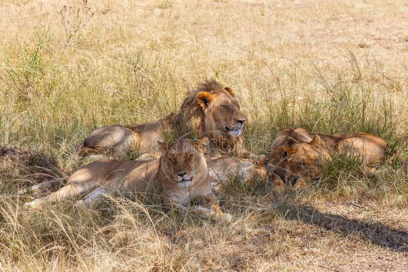 Lions sleeping in the grass stock photo