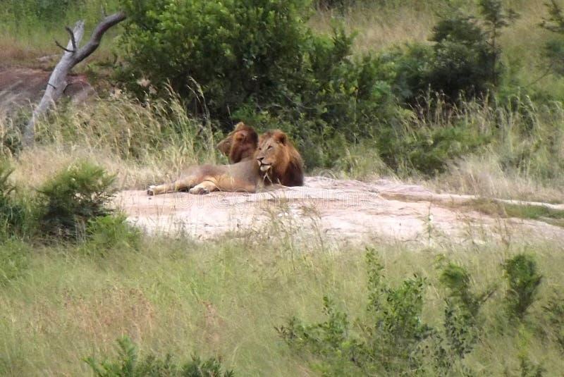Lions at South Africa Krugerpark. 2 male lions together at Kruger National Park 2 leeuwen samen stock photo