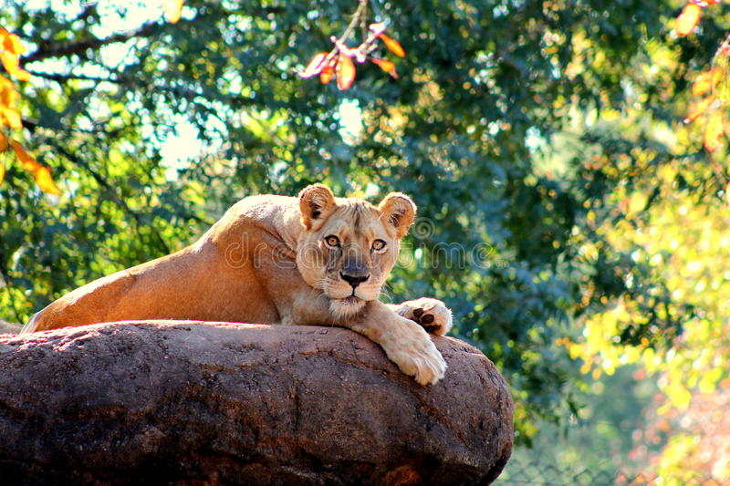 Lions stare. Atlanta Zoo lion, lion cub stock photography