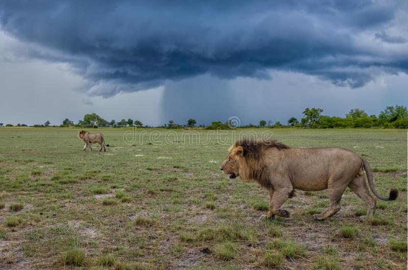 Lions of the Storm. Two massive male lions in the heart of Botswana`s Okavango Delta moving with purpose and seemingly un-phased by the approaching storm stock image