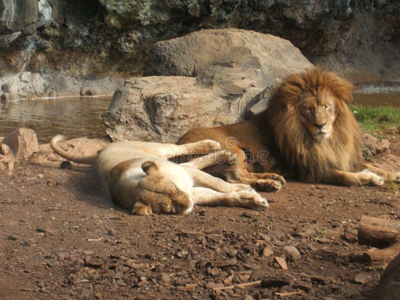 Lions sunbathing royalty free stock photography