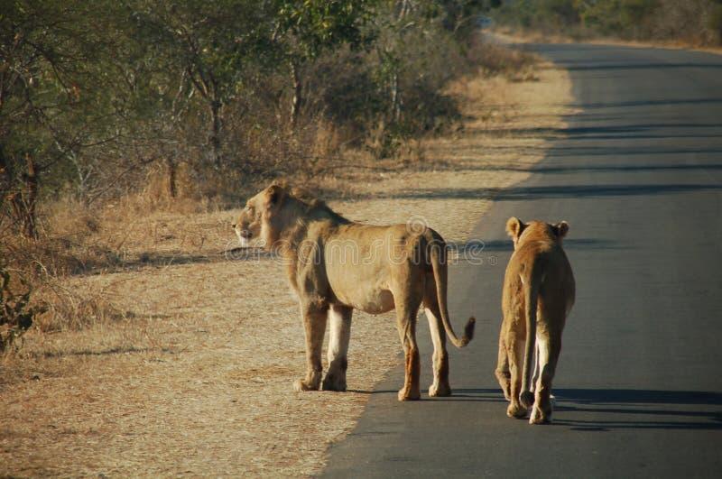 Lions sur le lever de soleil photo stock