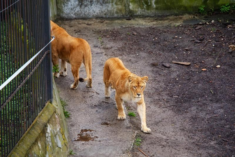 Lions walking in the zoo. stock photography