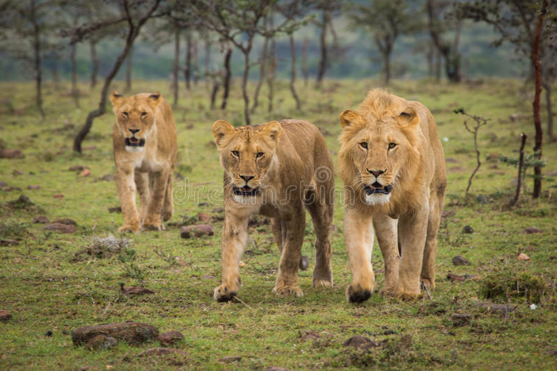 Lions Walking stock image