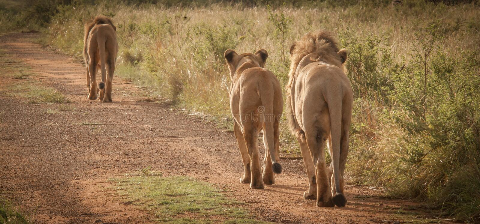 Lions in the wild in Kwazulu Natal. Lions in the wild in Nambiti Game Reserve Kwazulu Natal stock photography