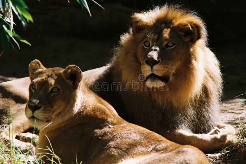 lionspair obraz stock