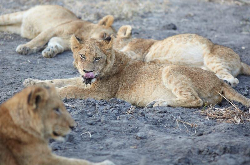 lionsrest arkivfoto
