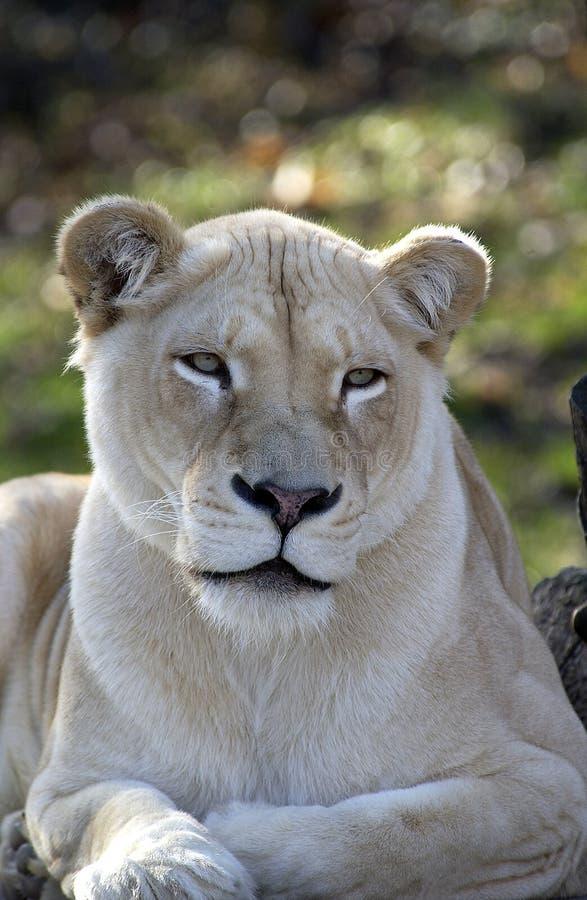 lionwhite royaltyfri fotografi