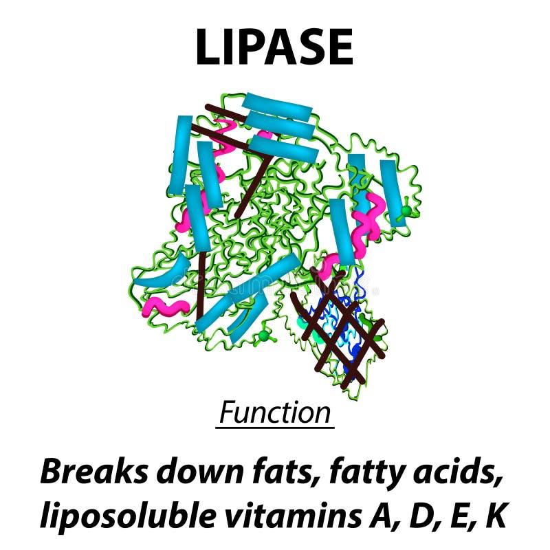 Lipasi strutturale molecolare di formula chimica Funzioni della lipasi dell'apparato digerente degli enzimi Riparte i grassi, gra royalty illustrazione gratis