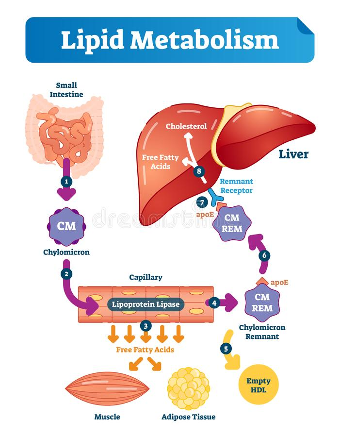 Lipid metabolism vector illustration infographic. Labeled medical scheme. Lipid metabolism vector illustration infographic. Labeled medical cycle scheme with stock illustration
