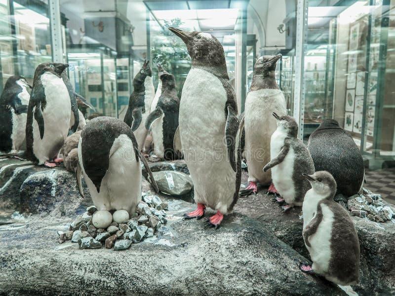 Lipiec 26, 2018: St Petersburg, Rosja: Pingwinu materiału przedstawienie przy Zoologicznym muzeum Zoologiczny instytut Rosyjska a fotografia royalty free
