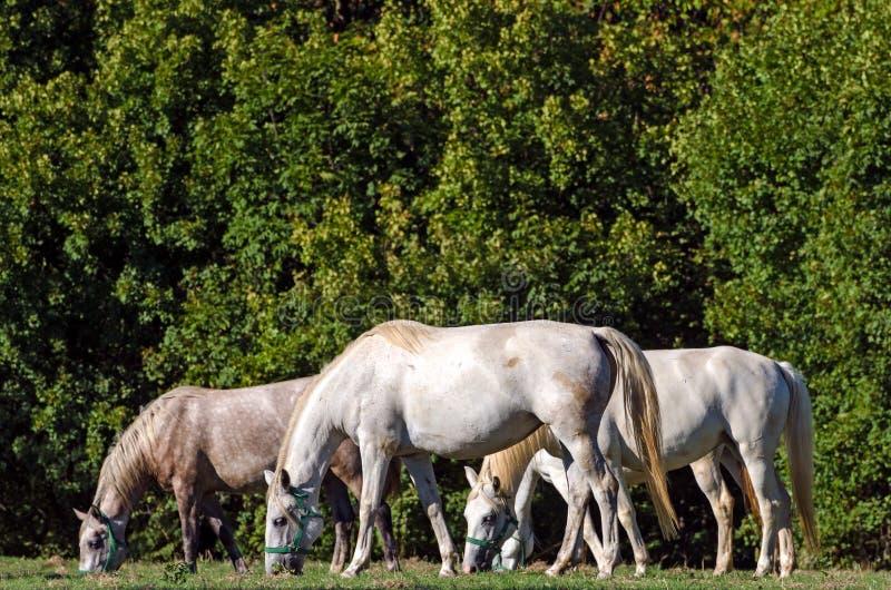 Lipizzan hästar, Slovenien royaltyfri foto