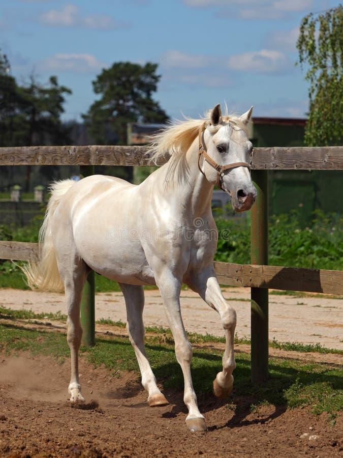 Lipizzan-Pferd, das auf Koppel galoppiert stockfotografie