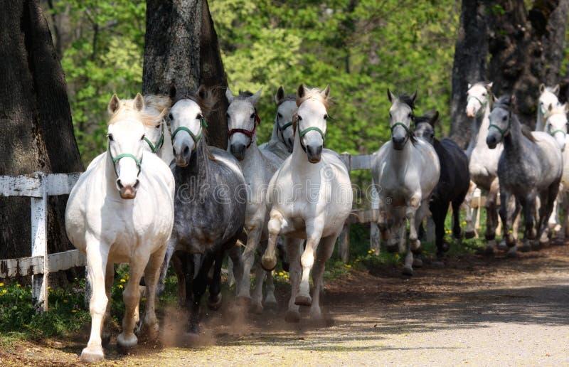 Lipizzan Pferde stockbilder