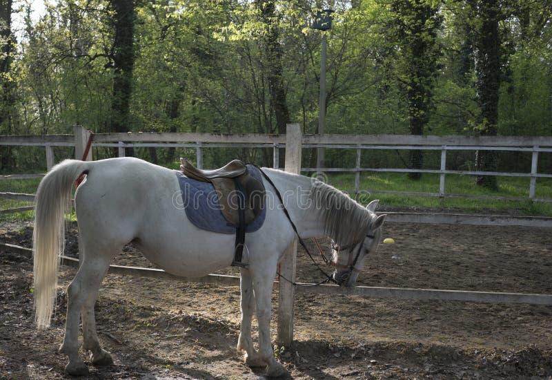Lipizzaner de cheval blanc dans la forêt image libre de droits