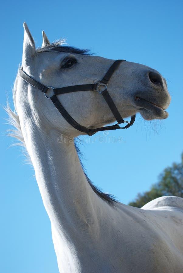 Lipizzaner horse stock photo