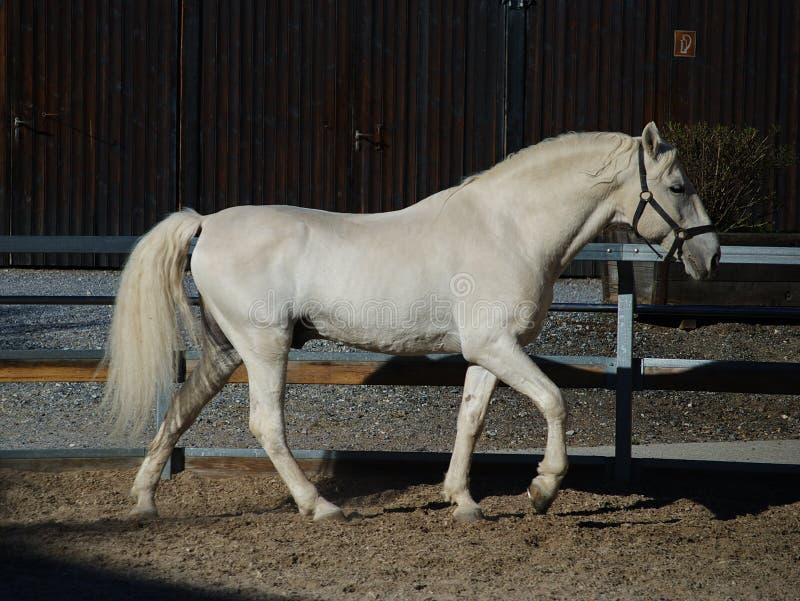 Lipizzaner stallion stock photography