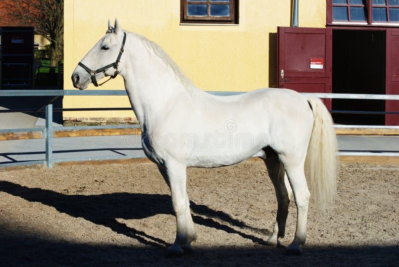 Lipizzaner stallion stock photo