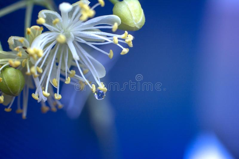 Lipowi kwiaty z kroplą woda Wiosny i lata kwiaty Makro- lipowy kwiat fotografia stock