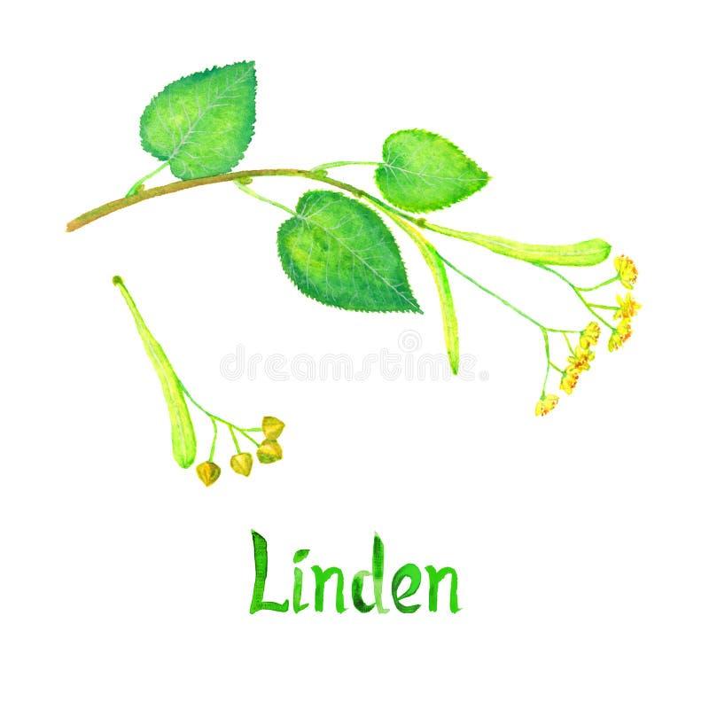 Lipowy Tilia Kilka gałąź z zielenią opuszcza, kwitnie, i ziarna, ręka malująca akwareli ilustracja z inskrypcją odizolowywającą royalty ilustracja