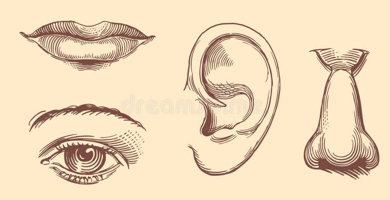 Lippen, ogen, oren, neus Het gezicht van Hand-drawn vrouwen illustration Uitstekende Retro gravure stock illustratie