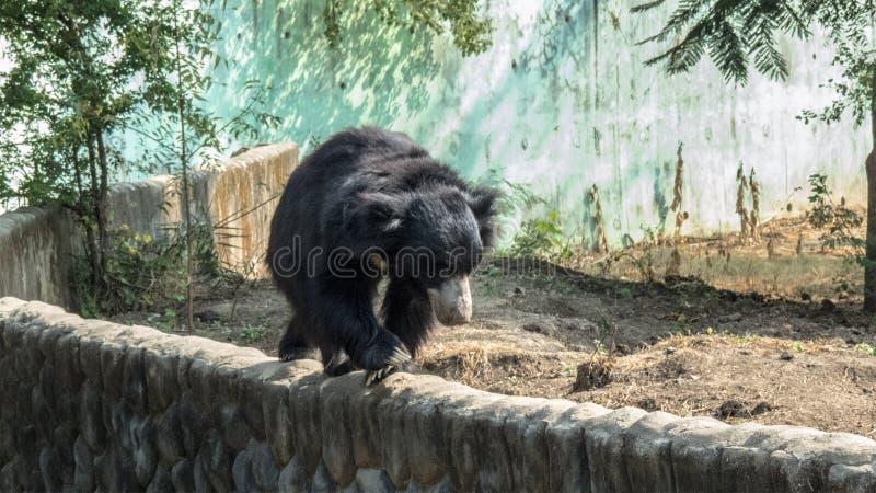 Lippenbär, der auf einen Wand-Indore Zoo, Indien geht stockbild