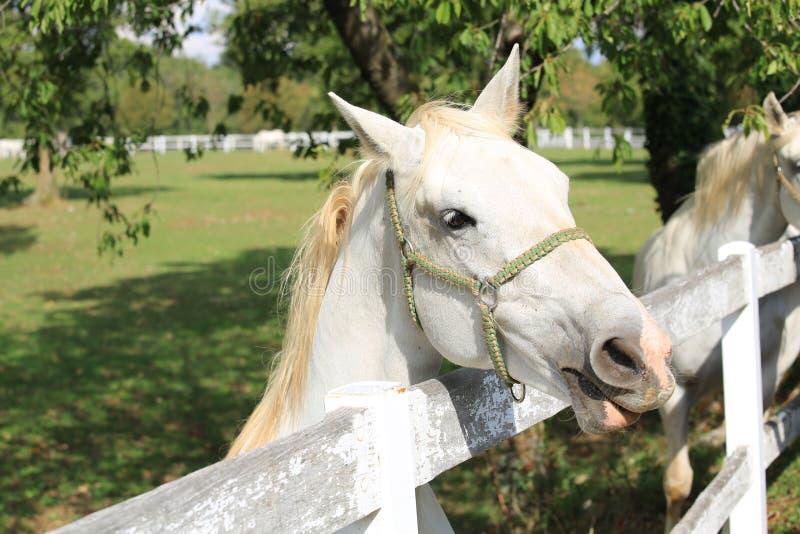 Lippizaner Horse in Lipica, Slovenia. Stud farm stock image