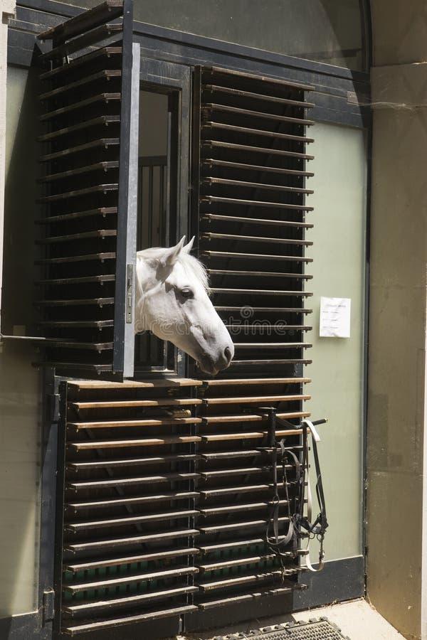 Lippizzaner Stallion stock photo