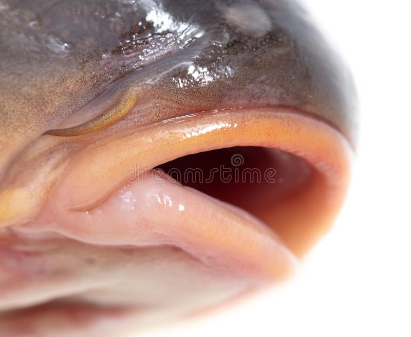 Lips of fish carp on a white background royalty free stock photo