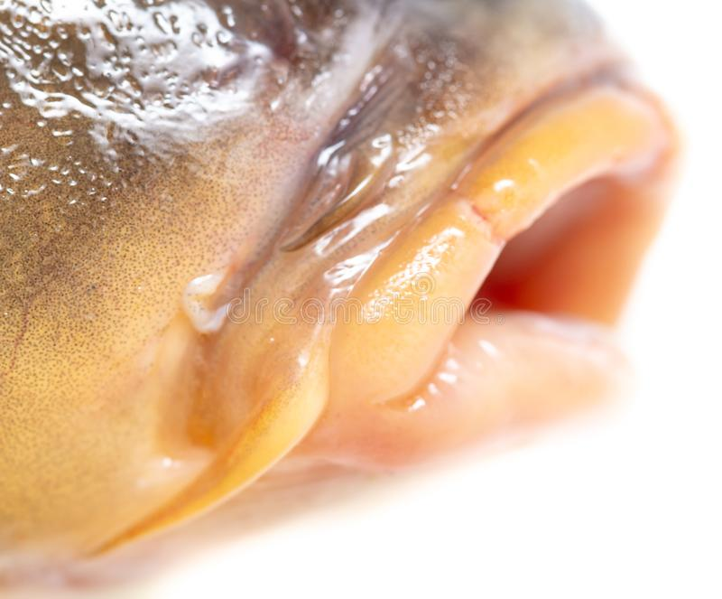 Lips of fish carp on a white background royalty free stock images
