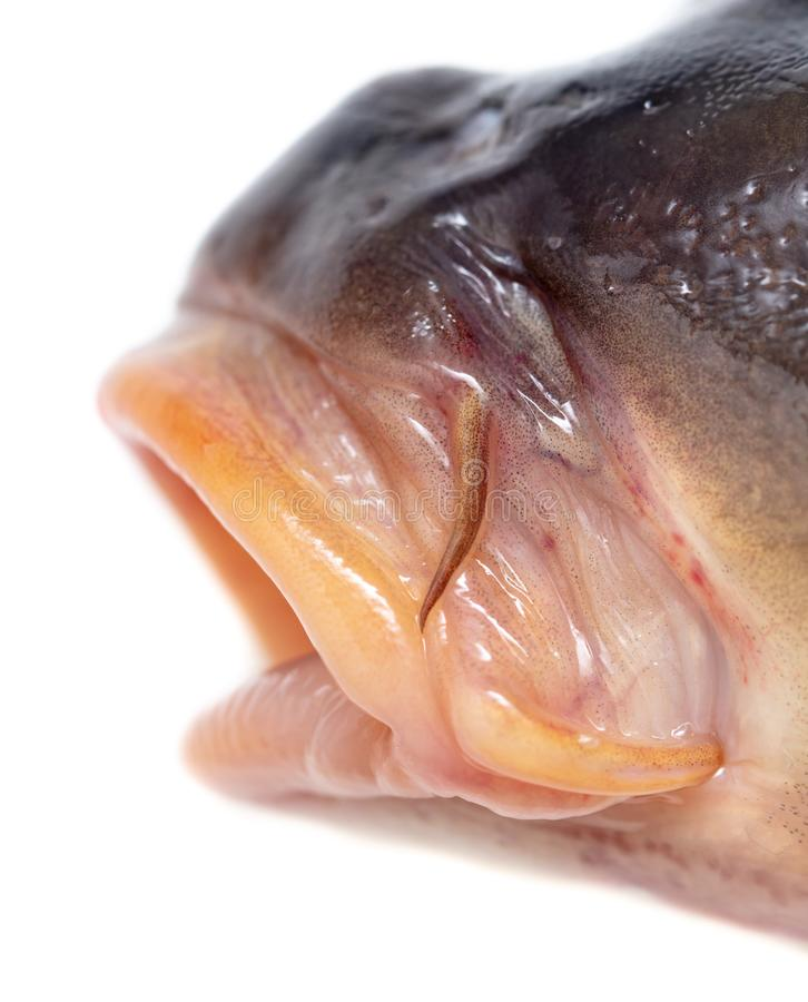 Lips of fish carp on a white background royalty free stock photography
