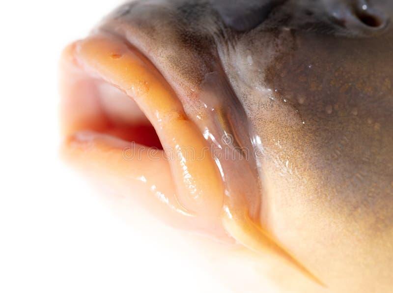 Lips of fish carp on a white background stock photo