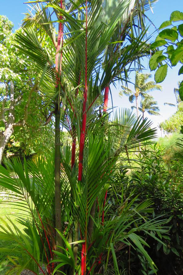 Lipstick palm, Maui Tropical Plantation, Hawaii. Lipstick palm or red sealing wax palm Cyrtostachys renda in Maui Tropical Plantation, Hawaii stock photo