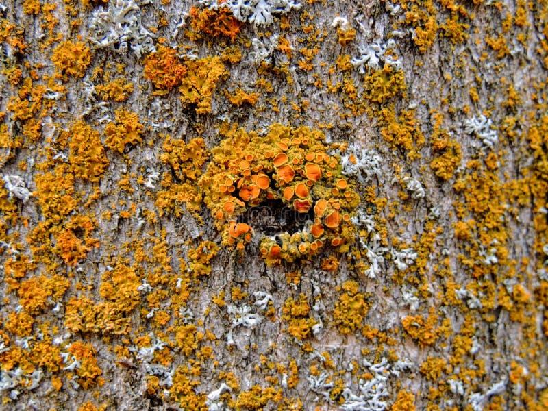 Liquen amarillo y anaranjado en la corteza de árbol, combinación simbiótica de un hongo con algas o bacteria, cierre para arriba, foto de archivo libre de regalías