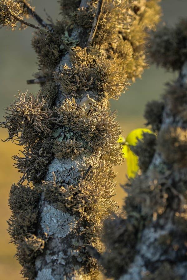 Liquen crecido en una rama de árbol foto de archivo