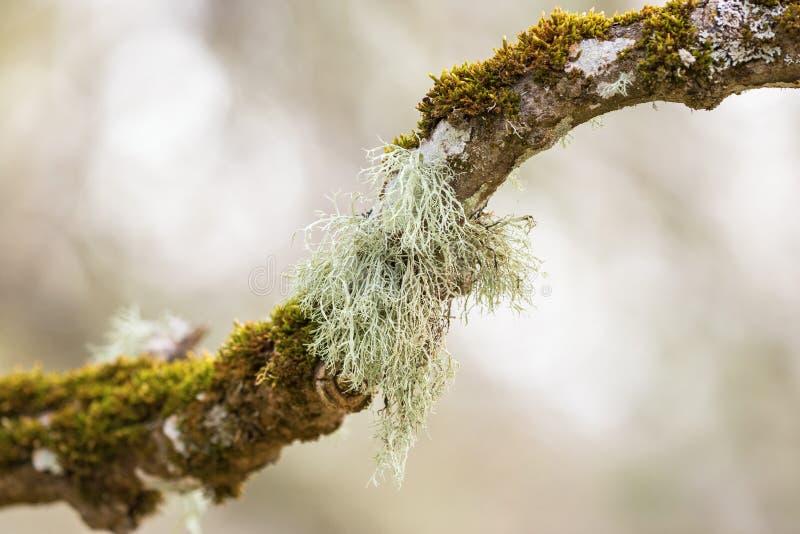 Liquen del Usnea que crece en una rama de árbol foto de archivo