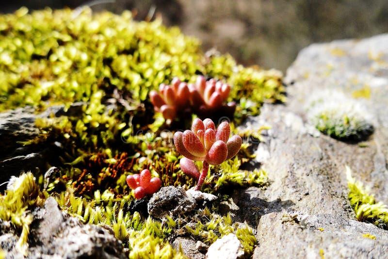 Liquen y musgo en piedra en día de primavera soleado Macro Foco selectivo fotos de archivo