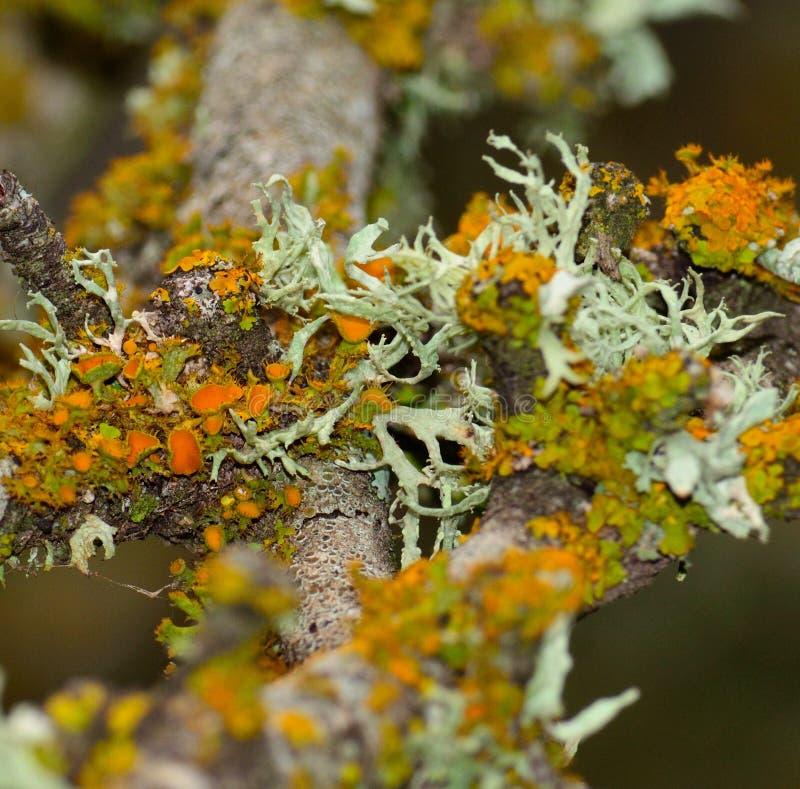 Liquenes de colores en rama de árbol imagen de archivo