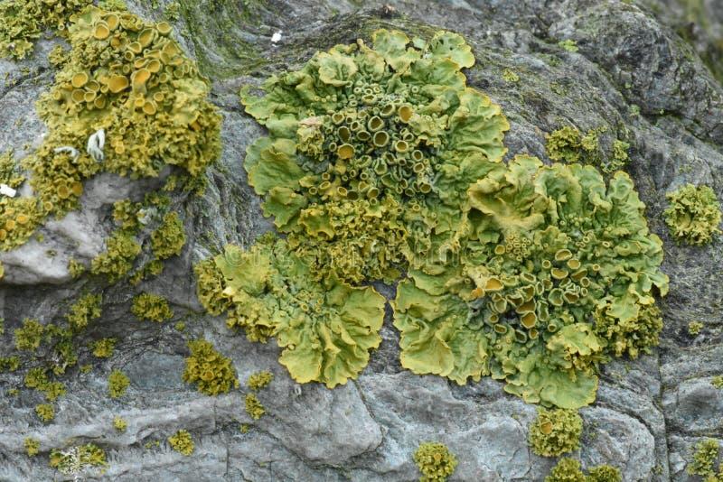 Liquenes foliáceos frondosos que crecen en piedra antigua fotos de archivo