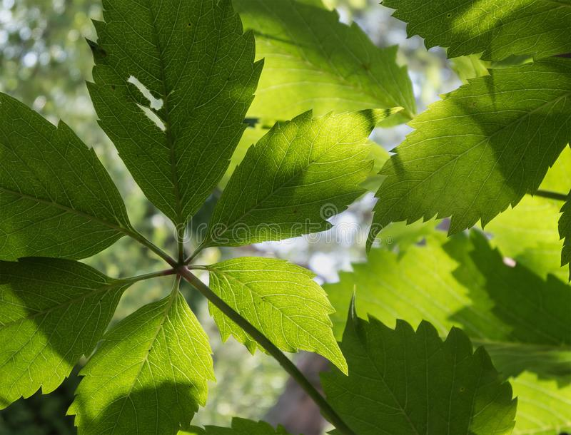 Liquidación a través de las hojas de la uva virginal imágenes de archivo libres de regalías