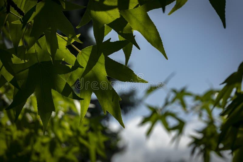 Liquidambar styraciflua, albero di Ambeer contro il cielo blu A fuoco dell'albero di Ambeer orlato con le foglie verdi vaghe fotografie stock