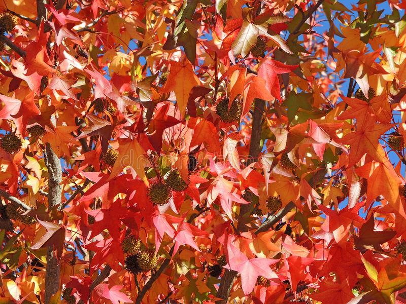 American sweetgum, in fall season with Its red, orange and yellow leaves royalty free stock image