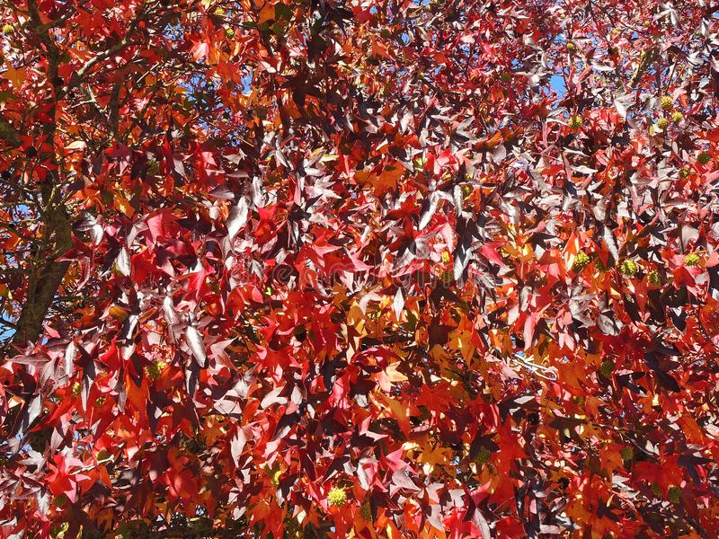 American sweetgum, in fall season with Its red, orange and yellow leaves stock photography