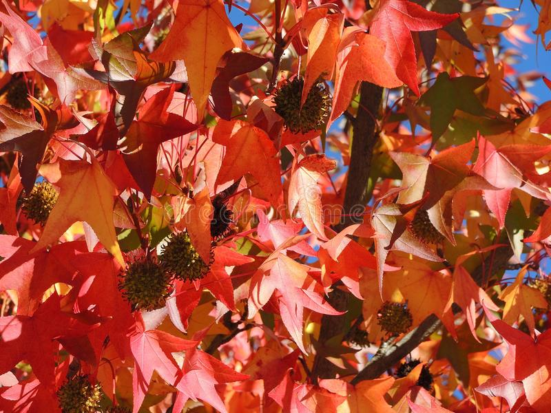 American sweetgum, in fall season with Its red, orange and yellow leaves stock image
