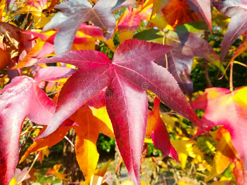 American sweetgum, in fall season with Its red, orange and yellow leaves stock photo