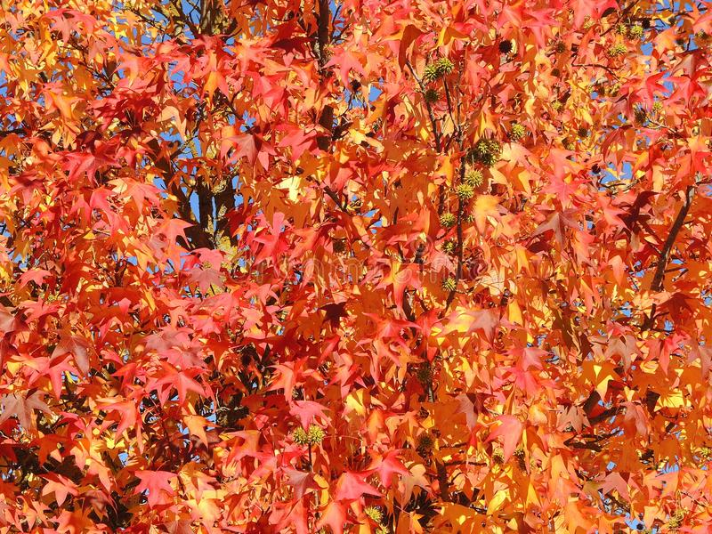Liquidambar styraciflua, commonly called American sweetgum, in fall season with Its red, orange and yellow leaves stock photography