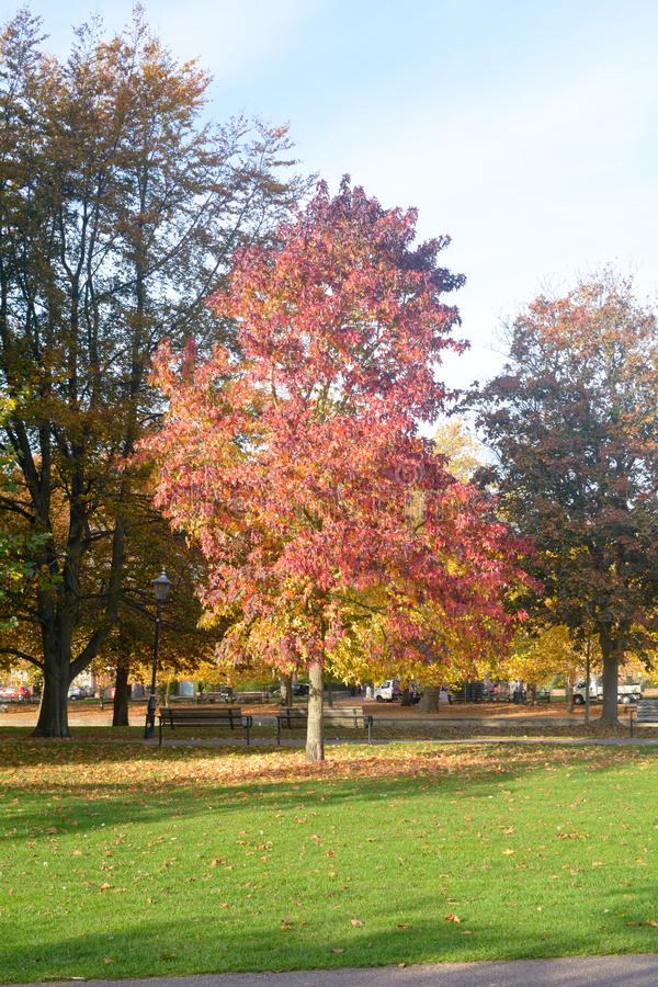 Liquidambar van de Sweetgumboom styraciflua met het overweldigen van bladeren stock foto's