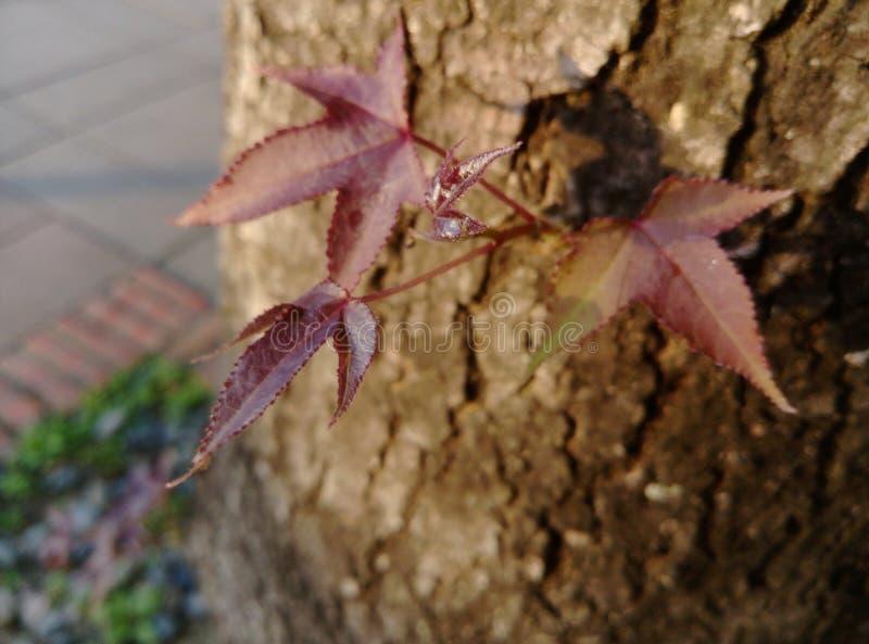Liquidambarbaumblätter lizenzfreies stockbild